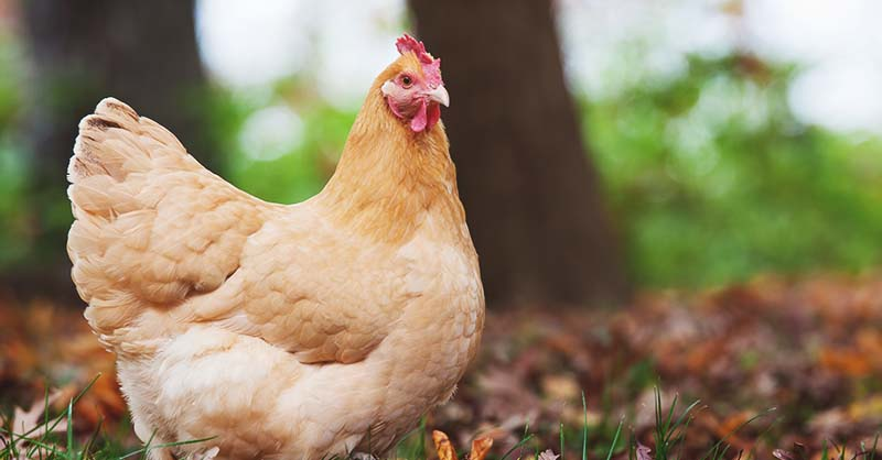 Complete Guide for Raising Backyard Chickens 11