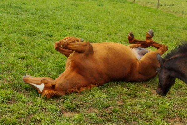 horse rolling in grass happy to be outside