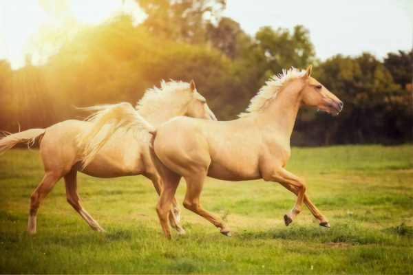 horses getting their daily excercise in a pasture