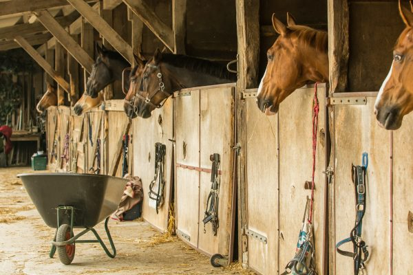 horses in barn stall waiting for their food