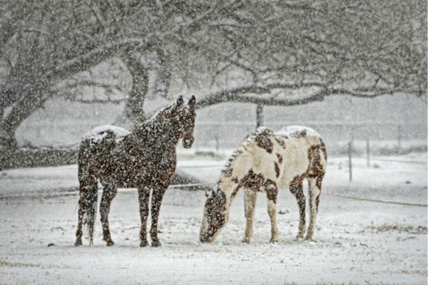 horses out in a snowstorm