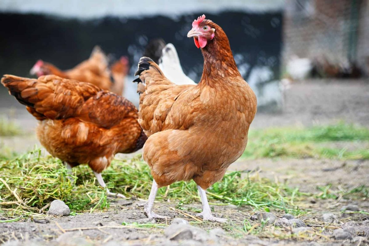 Complete Guide for Raising Backyard Chickens 14