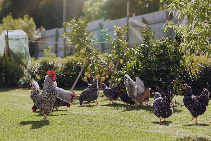 Complete Guide for Raising Backyard Chickens 7