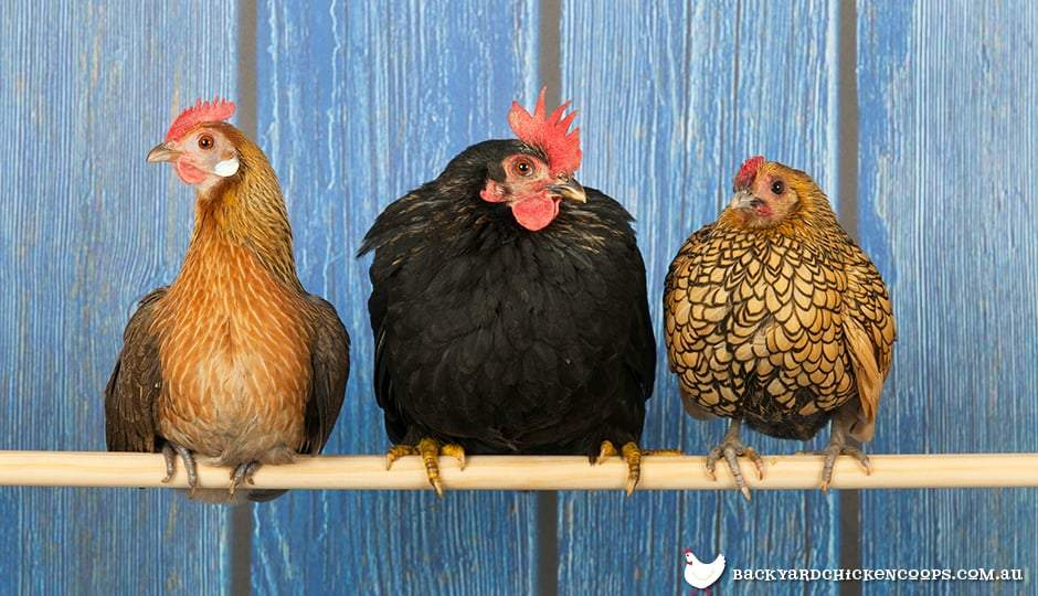 Complete Guide for Raising Backyard Chickens 12