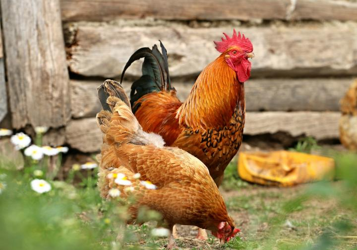 Complete Guide for Raising Backyard Chickens 1