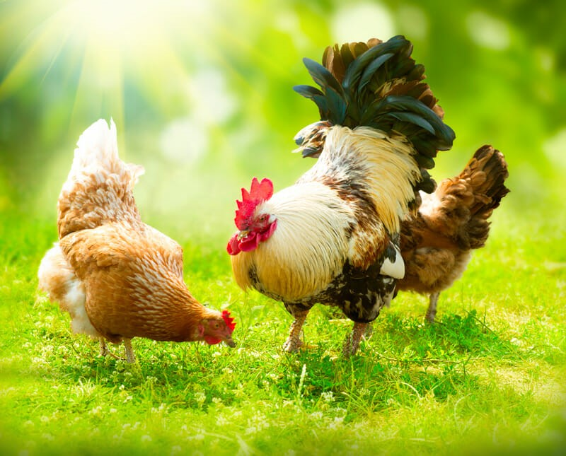 Complete Guide for Raising Backyard Chickens 3